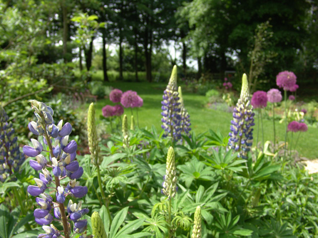 Lupins and Alliums